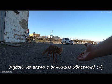 Худой, но зато с большим хвостом! :-) Чукотка Анадырь Арктика Дальний Восток Дикие животные