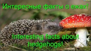 Интересные факты о ежах! Interesting facts about hedgehogs!