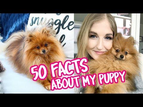 50 Facts About My Pomeranian Puppy, Paddington!