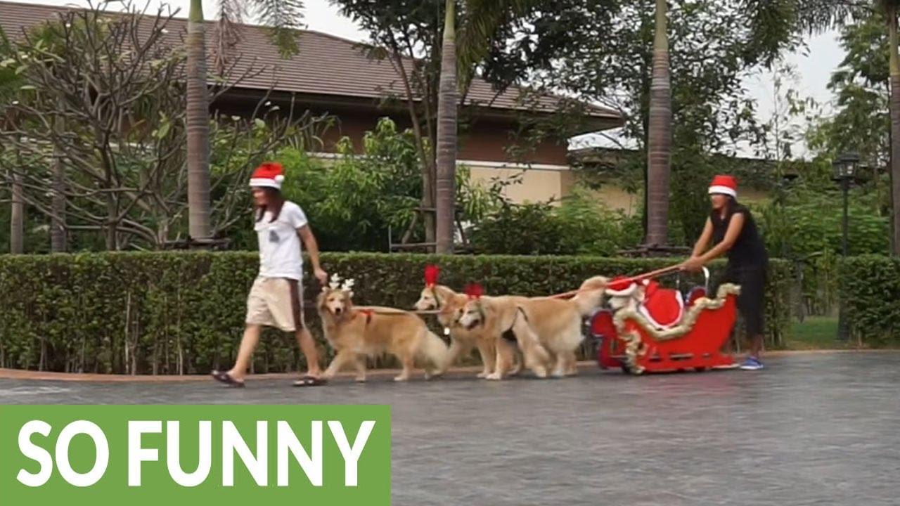 golden retrievers dress up as reindeer pull santa s sleigh youtube