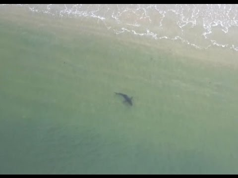 Great White Sharks Shallow Long Beach Drone Californian 5/10/17