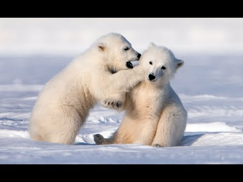 Adorably Cute Polar Bear Cubs Go Sledging!