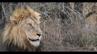 Will the Orpen Male Lions Take Over the Mbiri Pride? | On the Beat in the Manyeleti # 98