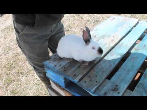 The Ballista- Penetrating Bolt Gun for Rabbits and Poultry