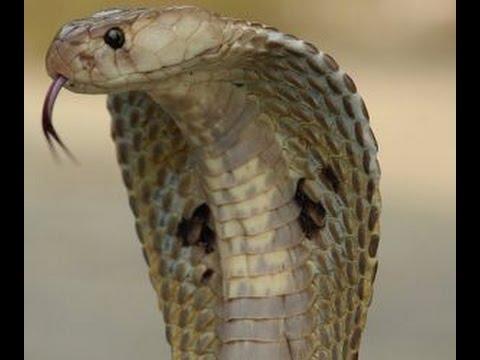 اخطر ثعابين الصحراء الكوبرا المصرية