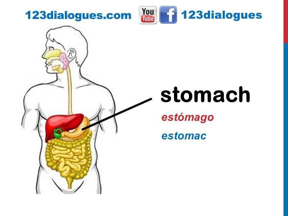 Curso de inglés 38 - El aparato digestivo en inglés Sistema ...