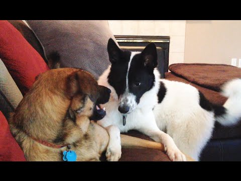 Grumpy Belgian Malinois Mix and Playful Karelian Bear Dog Mix