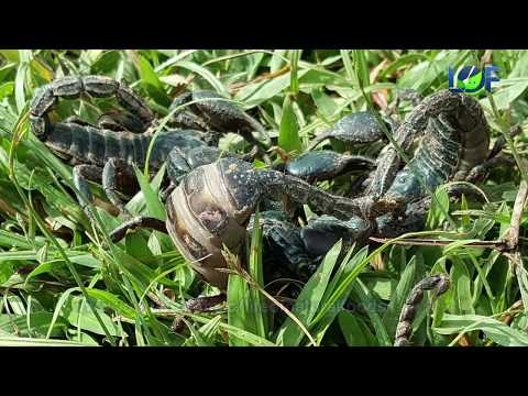 Catching Black Scorpion | Life of Natural Foods