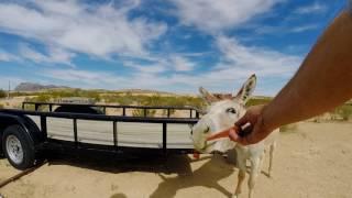 burros love carrots
