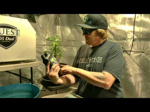 Monster Cropping & Transplanting Cannabis