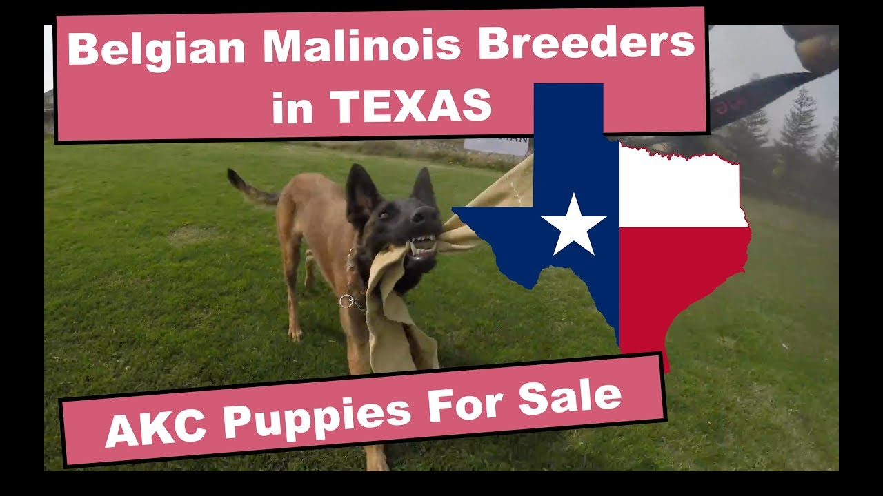 Belgian Malinois Breeders in Texas - Video Demo - Puppies For Sale in Texas