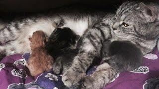 Кормление шотландских котят/ мама Хамса: скоттиш страйт / Папа:скоттиш фолд / Шотландская вислоухая