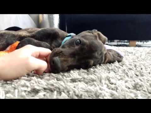 """Plott Hound Puppy """"First Day Home"""""""