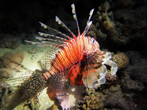 Up Close and Personal with a Lionfish!