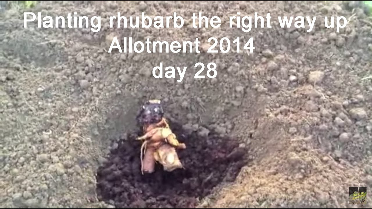 How to plant rhubarb in the fall - How To Plant Rhubarb In The Fall 55