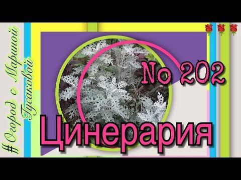 202. Цинерария приморская - многолетнее растение для цветника