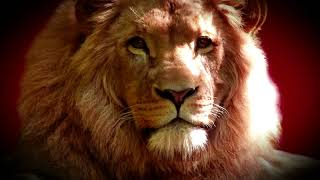 funny lion wild animals video - wild animals fighting - lion vs buffalo, lion buffalo video