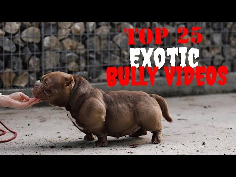 Top 25 Best of Exotic American Bully Videos Vol.3