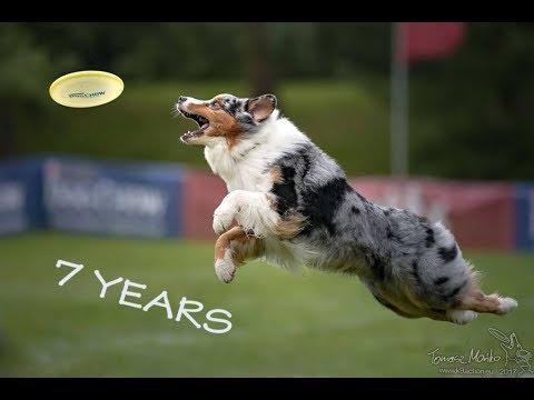 Kentucky Australian Shepherd - 7 Years