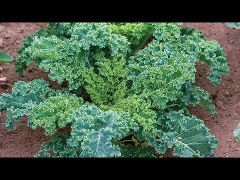 Everything You Need to Know About Growing Kale