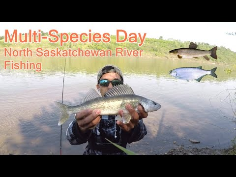 Multi Species North Saskatchewan River Edmonton (The STURGEON QUEST 3rd Attempt)