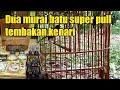 Suara Murai Batu Medan Super Pull Tembakan Kenari  Mp3 - Mp4 Download