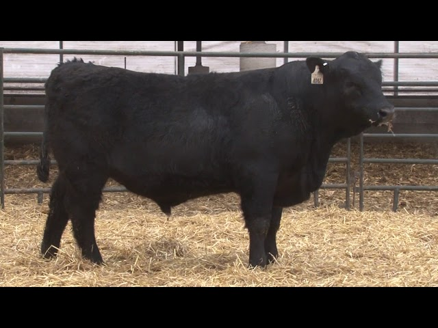 Schiefelbein Angus Farms Lot 275
