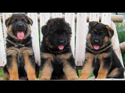 Funniest & Cutest German Shepherd Compilation 2017 - Funny Dogs Videos