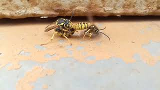 видео Как размножаются пчелы