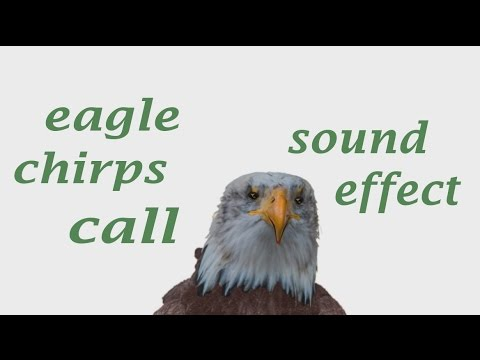the animal sounds eagle chirps calls sound effect animation youtube. Black Bedroom Furniture Sets. Home Design Ideas