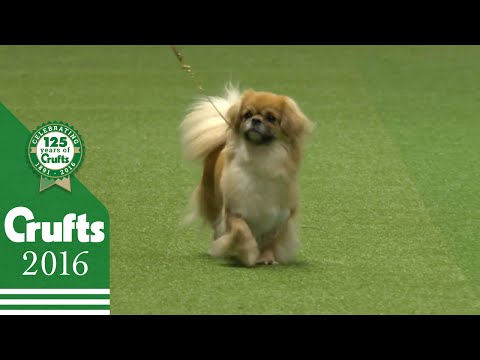 German Spitz (Klein) wins the Utility Group Judging | Crufts 2016