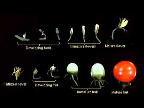 Tomato Plant Flower Development T.G.C. - YouTube Tomato Plant Flower To Fruit