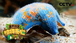 [正大综艺·动物来啦]海星会以螃蟹作为食物  CCTV