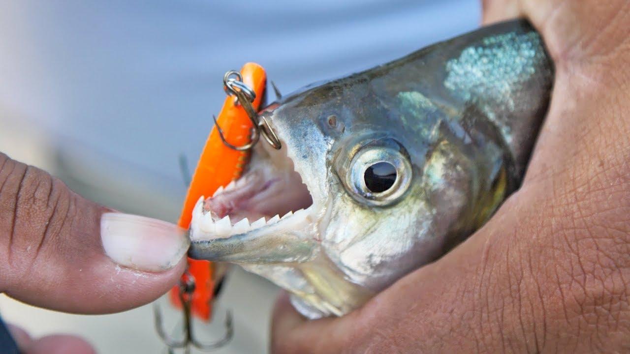 razor-sharp-teeth-piranha-fishing-with-lures-in-amazon-river