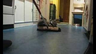 Waschbär / Raccoon Molly fegt die Küche /sweeps the kitchen