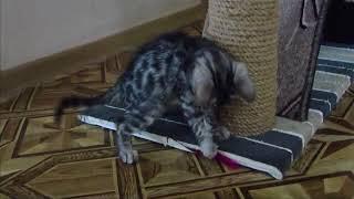 Бенгальский котенок Бумер, 2 мес. Продажа!