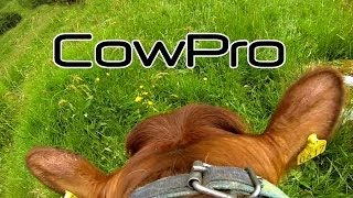 Cow-Pro - [Go-Pro mounted on a COW!] Kviger på ferie/Heifers on holiday