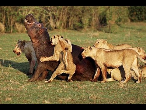 Leones Salvajes Cazando en Africa - Documentales National Geographic