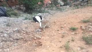 Tavşan kavgası