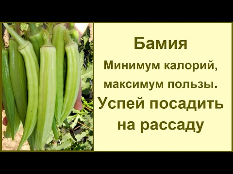 Бамия – «пылесос» для организма