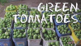 What Are Green Tomatoes? / Fried Green Tomatoes Recipe