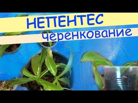Непентес Вентрата: черенкование, формирование куста, укоренение и рост молодого растения.
