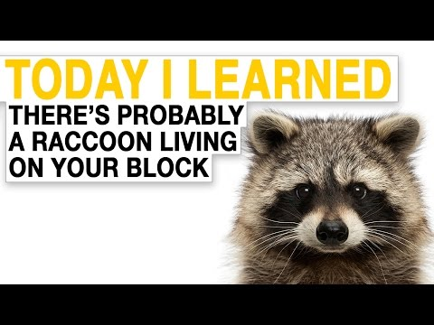 TIL: There's Probably a Raccoon Living on Every City Block in North America | Today I Learned