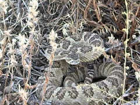 Diamondback rattlesnake in Northern Nevada