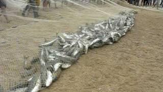 Lance de 398 tainhas na Praia da Tainha. Bombinhas/SC