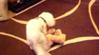 Hot Poodle