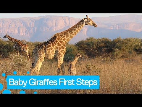 Beautiful footage captured of a baby giraffe taking its first steps.