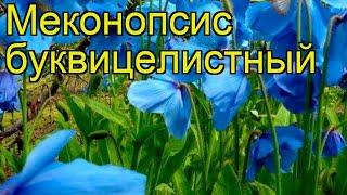 Меконопсис буквицелистный. Краткий обзор, описание характеристик meconopsis betonicifolia