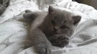 British Shorthair.  Very sweet Juno *cattery Calmcat British Shorthair