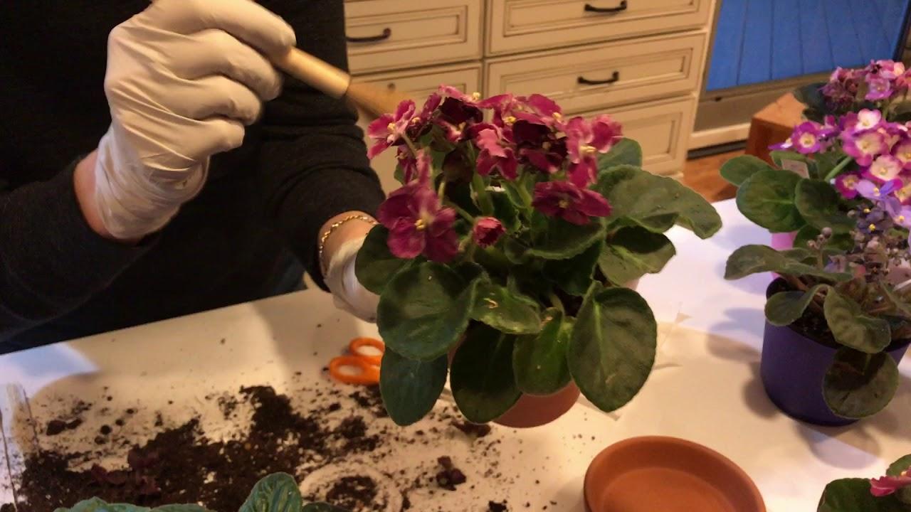 Transplanting African Violets